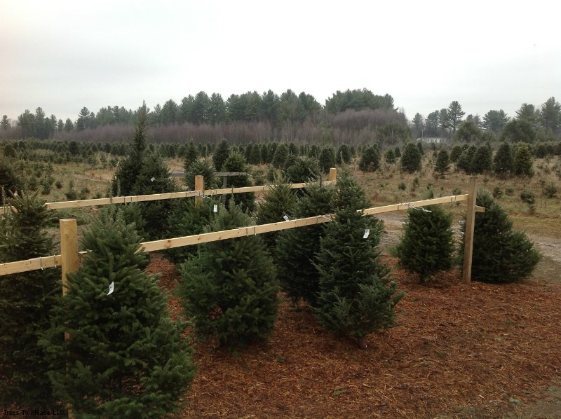 Precut Christmas Trees on Bark Mulch