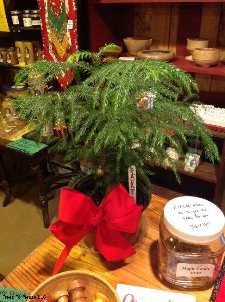 Norfolk Island Pine Decorated