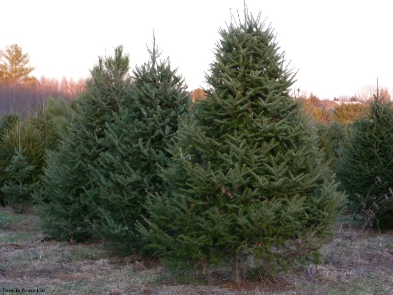 10 Foot Christmas Trees