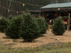 Precut Christmas Trees in Front of Gift Shop
