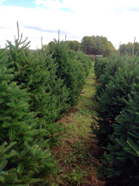 Christmas trees 2014