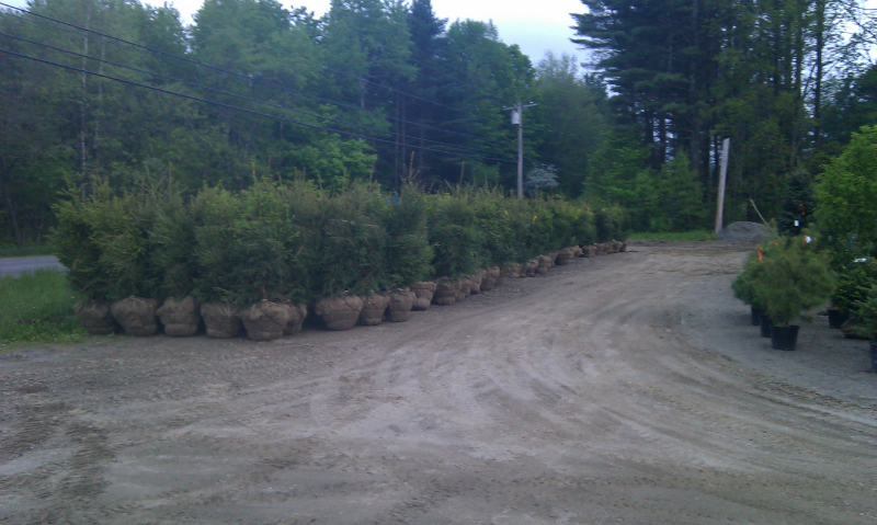 Norway Spruce (Dug Trees)