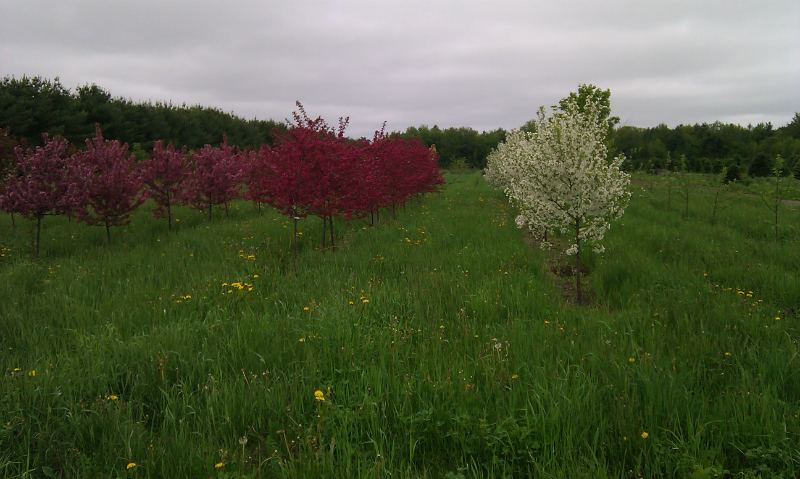 Crabapple Trees Growing on the Norridgewock Farm