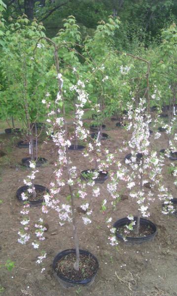 Weeping Jade Crabapple Trees