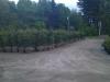 Norway Spruce (Dug Trees)