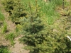 Potted Blue Spruce Trees
