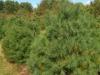 White Pine Trees
