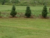 Balsam Fir Border for Future In-ground Pool