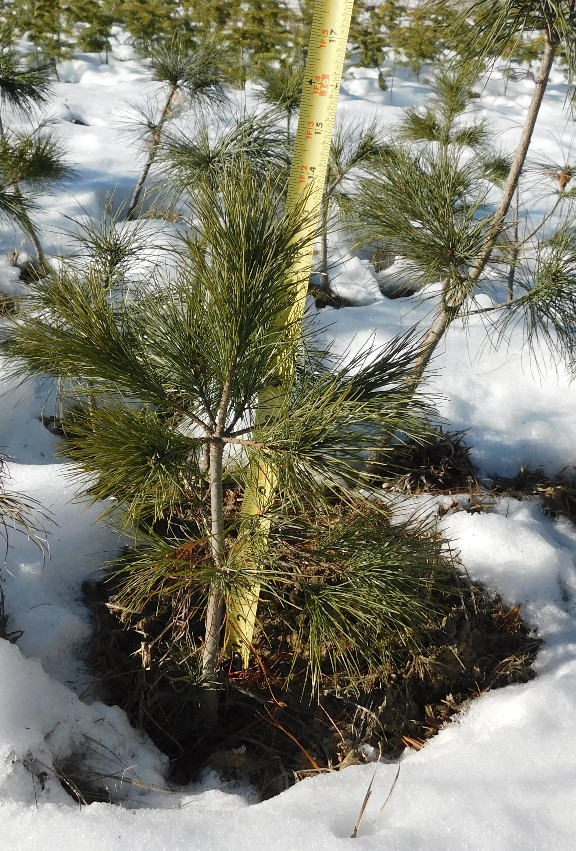White pine 3-1