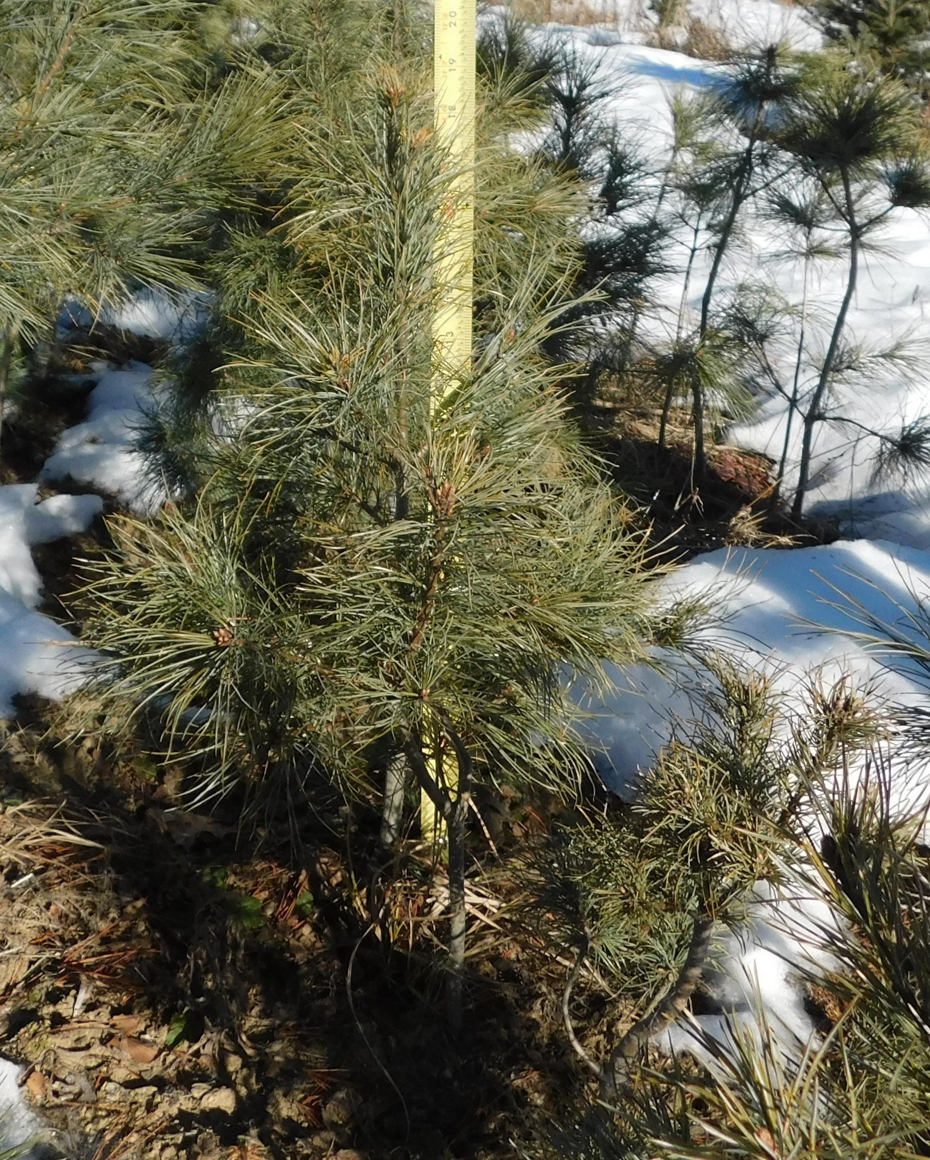 White pine 3-2