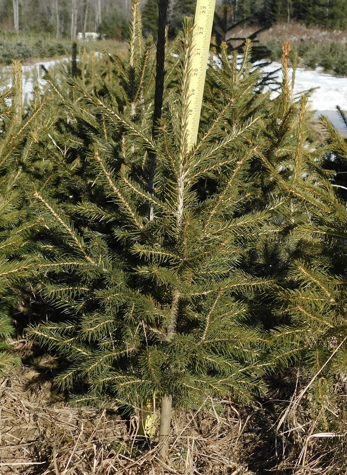 Norway spruce 3-2