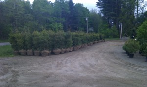 Dug Evergreen trees for pick up
