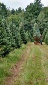 8-9 foot balsam fir