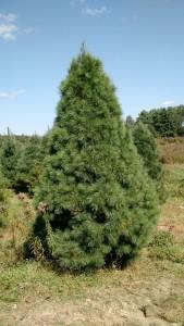 9-11 foot White Pine